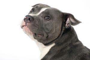 Dog - Staffordshire Bull Terrier head & shoulders