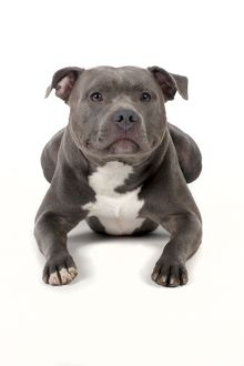 Dog - Staffordshire Bull Terrier laying down