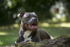 Dog - Staffordshire Bull Terrier on a log