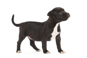 Dog - Staffordshire Bull Terrier - puppy