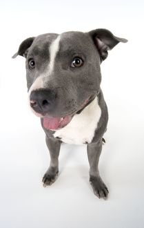 Dog - Staffordshire Bull Terrier sitting