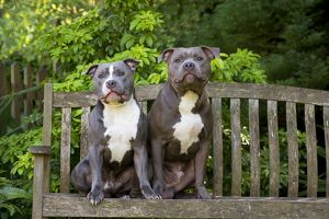 Dog - Staffordshire Bull Terriers on a garden seat