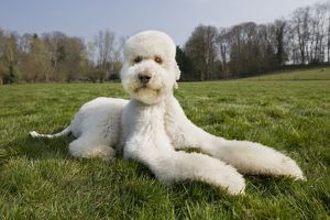 Dog - Standard Poodle lying down