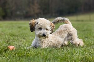 Dog - Standard Poodle puppy playing in garden