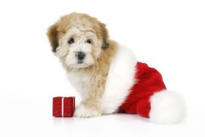 Dog. Teddy Bear dog with Christmas hat and present