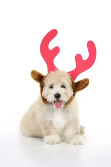 Dog. Teddy Bear dog wearing christmas antlers