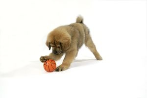 Dog - Tibetan Mastiff 10 wk old puppy playing with ball