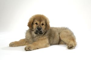 Dog - Tibetan mastiff puppy 10 wks old