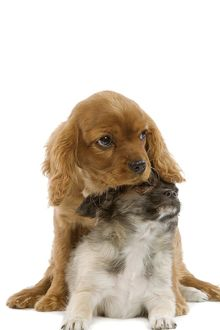 Dog - Tibetan Spaniel & Cavalier King Charles Spaniel - puppies in studio