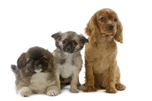 Dog - Tibetan Spaniels & Cavalier King Charles Spaniel - puppies in studio