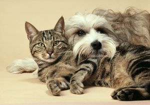 Dog - Tibetan Terrier lying with Tabby Cat