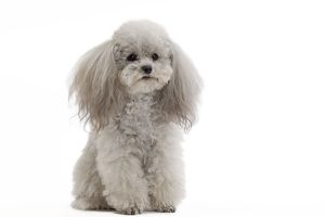Dog - Toy Poodle