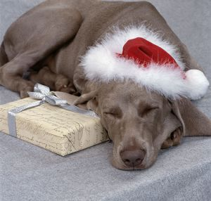 DOG - Weimaraner asleep wearing Christmas hat