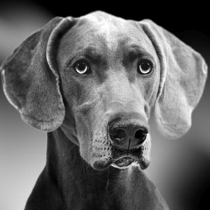 Dog - Weimaraner. Black & White