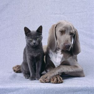 DOG - Weimaraner with Blue Cat
