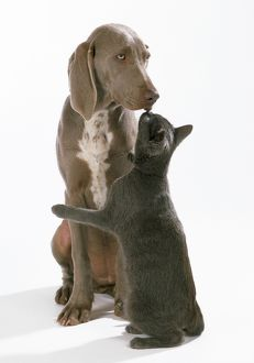 Dog - Weimaraner & Blue cat Ã''kissingÃ'