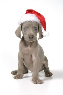 DOG. Weimaraner with Christmas hat on