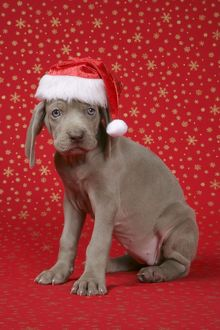 DOG. Weimaraner with Christmas hat on in front of Christmas background