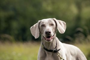 DOG - Weimaraner (head shot)