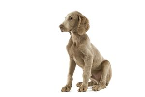 Dog - Weimaraner - puppy. Also know as Weimaraner Vorstehhund or Braque de Weimar (French)