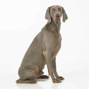 DOG - Weimaraner, sitting, studio shot