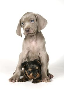 DOG. Weimaraner sitting on top of Yorkshire terrier