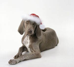 DOG - Weimaraner wearing Christmas hat
