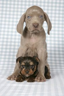 DOG. Weimaraner and Yorkshire terrier on blanket