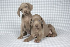 DOG. Two weimaraners on blanket