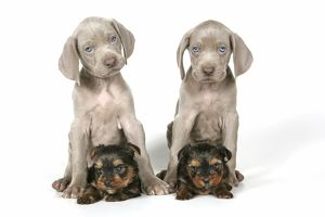 DOG. Two weimaraners sitting on top of Yorkshire terriers