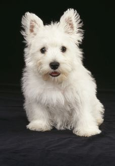 DOG - West Highland White Terrier puppy