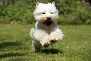 DOG - West highland white terrier running in garden