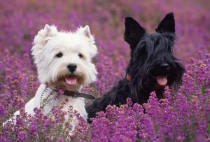 DOG - West Highland White Terrier & Scottish Terrier