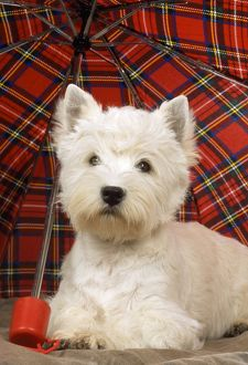 DOG - West Highland White Terrier - under tartan umbrella