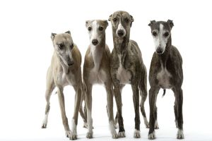 Dog - Whippets