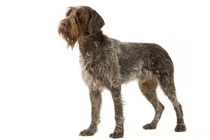 Dog - Wirehaired Pointing Griffon / Korthals Griffon Dog