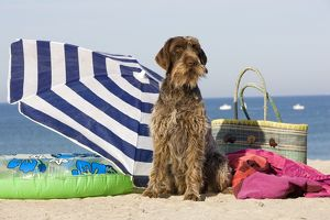 Dog - Wirehaired Pointing / Korthals Griffon - on the beach