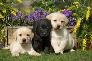 Dog - Yellow and Black Labrador puppies