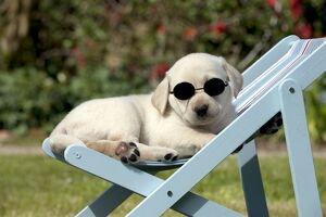 DOG - Yellow labrador puppy sitting in deckchair