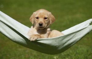 DOG - Yellow labrador puppy sitting in hammock (7 weeks)