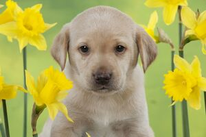 DOG - Yellow labrador puppy surrounded by daffodils