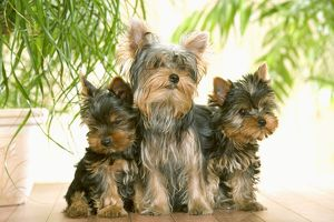 Dog - three Yorkshire Terrier, adult & two puppies