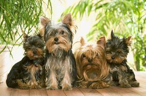 Dog - Yorkshire Terrier - adults with two puppies