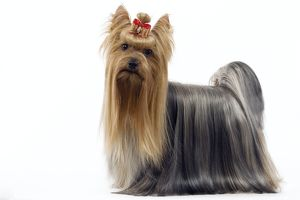 Dog - Yorkshire Terrier with bow in its hair