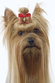 Dog - Yorkshire Terrier with bow in hair