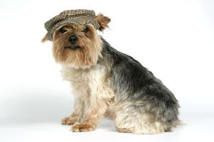 DOG. Yorkshire terrier with cap / hat on