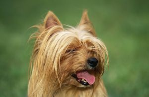 DOG, Yorkshire Terrier - close-up of head