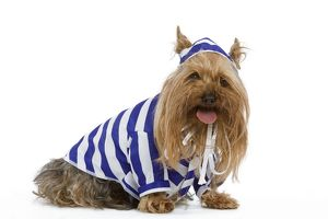 Dog - Yorkshire Terrier dressed up in blue and white stripey outfit