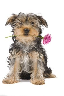 Dog - Yorkshire Terrier holdng rose in mouth