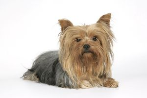 DOG. Yorkshire terrier lying down
